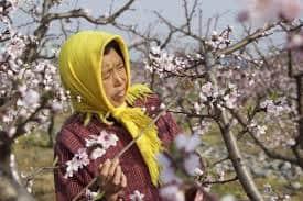 in Cina ad impollinare sono gli uomini ape